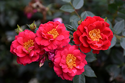 Oso Easy® Urban Legend® Rose (Rosa 'ChewPatout') at Jim Melka Landscaping & Garden Center