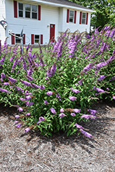 Peacock™ Butterfly Bush (Buddleia davidii 'Peakeep') at Jim Melka Landscaping & Garden Center