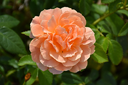 At Last® Rose (Rosa 'HORCOGJIL') at Jim Melka Landscaping & Garden Center