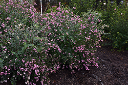 Proud Berry® Coralberry (Symphoricarpos 'Sofie') at Jim Melka Landscaping & Garden Center