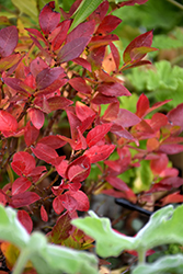 Jelly Bean® Blueberry (Vaccinium 'ZF06-179') at Jim Melka Landscaping & Garden Center