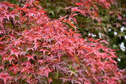 Beni Tsukasa Japanese Maple (Acer palmatum 'Beni Tsukasa') at Jim Melka Landscaping & Garden Center