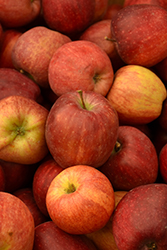 Red Delicious Apple (Malus 'Red Delicious') at Jim Melka Landscaping & Garden Center