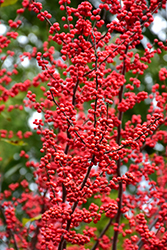 Winter Red Winterberry (Ilex verticillata 'Winter Red') at Jim Melka Landscaping & Garden Center