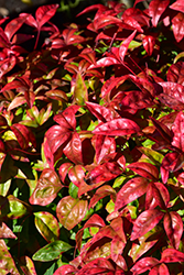 Fire Power Nandina (Nandina domestica 'Fire Power') at Jim Melka Landscaping & Garden Center