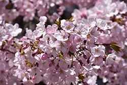 Sargent Cherry (Prunus sargentii) at Jim Melka Landscaping & Garden Center